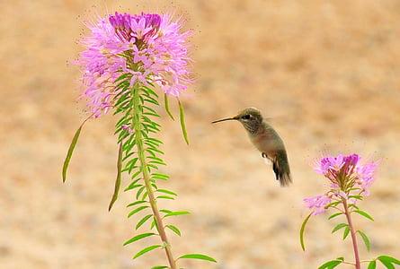 brown hummingbird near pink flower