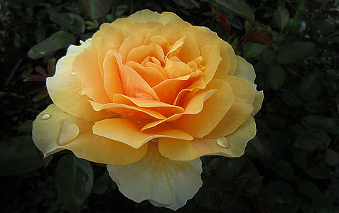 yellow and orange rose in bloom closeup photography