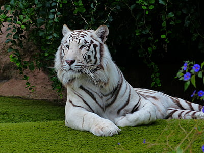 white and black albino tiger lying on ground