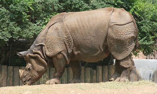 brown rhinoceros