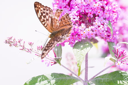 brown butterfly on pink flowers