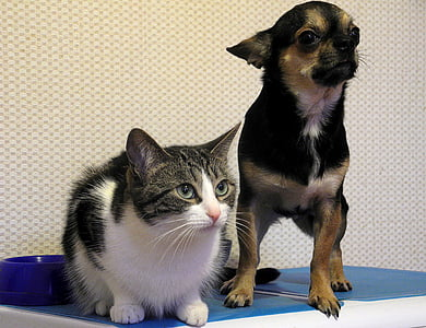 two black and white cat and black and tan Chihuahua on blue surface near white wall