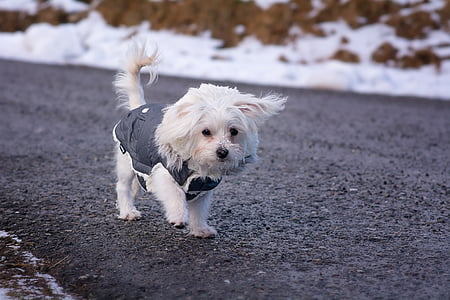 white Maltese puppy on road