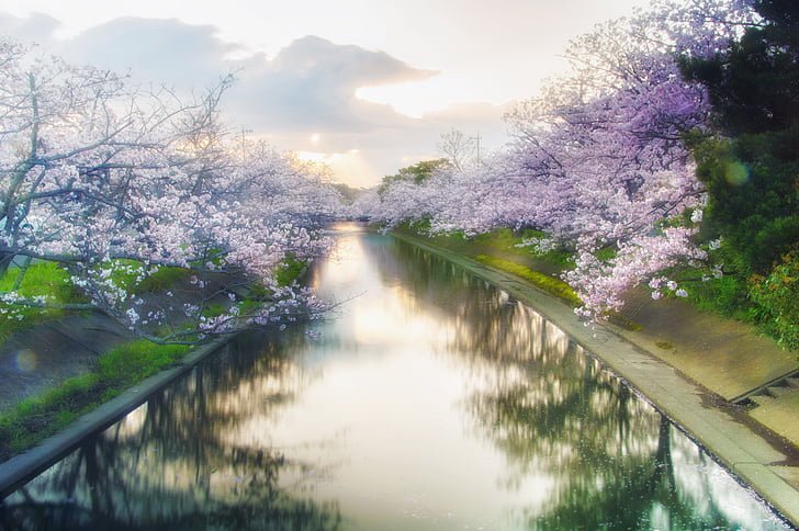 purple flower tree with river