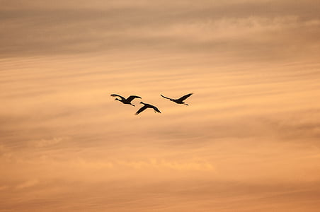three bird fly in sky