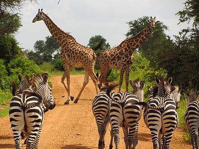 photo of giraffe and and zebra walking on roadway between trees
