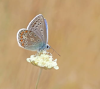 shallow focus photography of common blue butterfly
