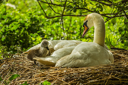 white duck with duckling in brown nest