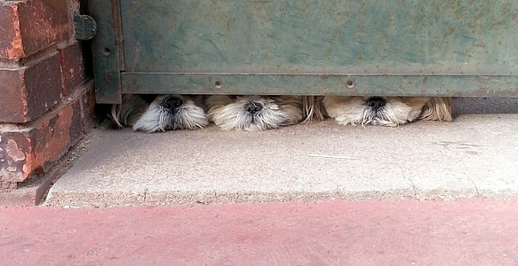 three dog hiding from green gate
