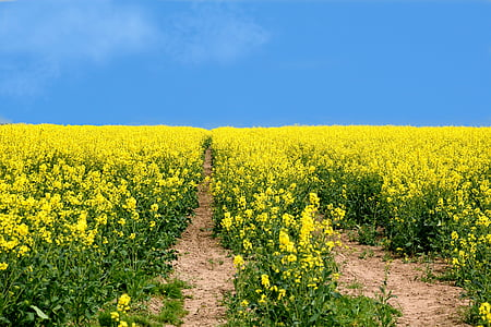 yellow rapeseed flower field under blue sky during daytime
