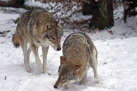 two brown wolves on snow closeup photography at daytime