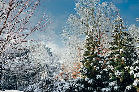 pine trees with snows