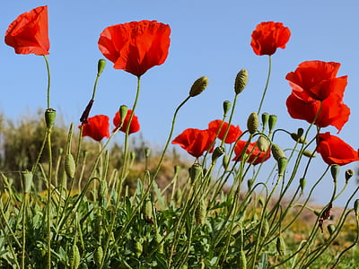 red poppies under blue sky