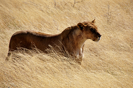 animal photography of lioness