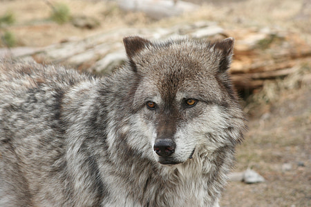 wildlife photography of gray wolf
