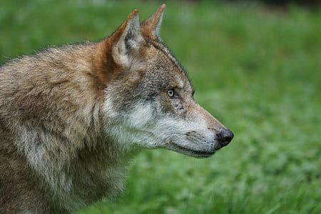 shallow focus photography of brown wolf