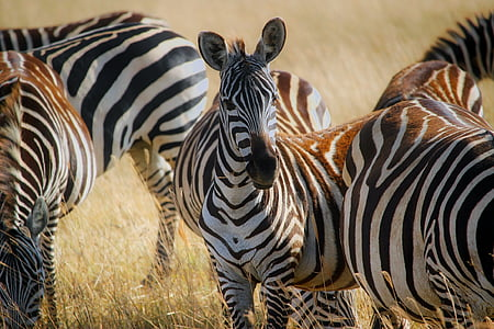 zebras standing on green grass