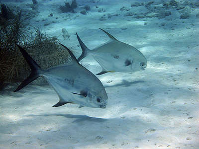 underwater photography of of two gray piranhas