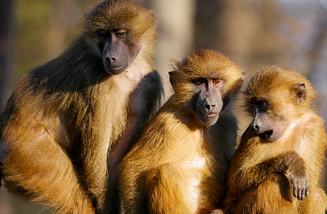 photo of three brown monkeys near each other