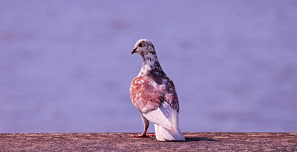 shallow focus photography of brown and white pigeon
