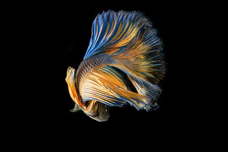 yellow and blue beta fish