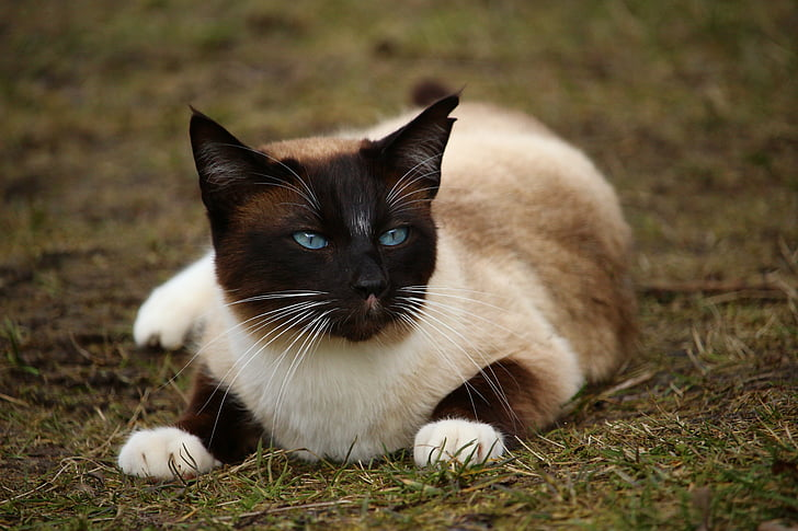 Siamese cat on top of grass
