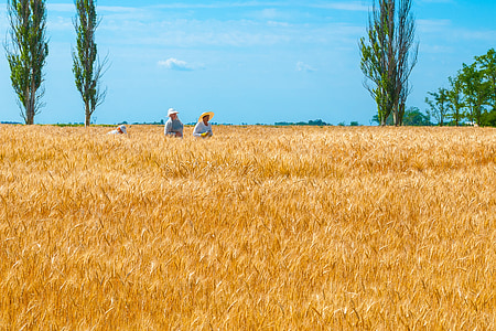 three people harvesting wheats during dayitme
