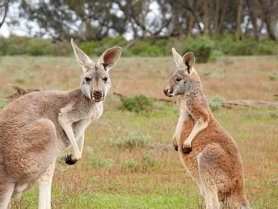 wildlife photography of two kangaroos