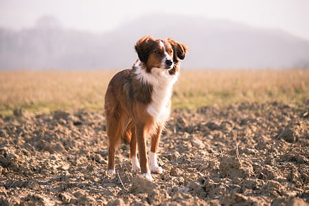 adult brown and white border collie