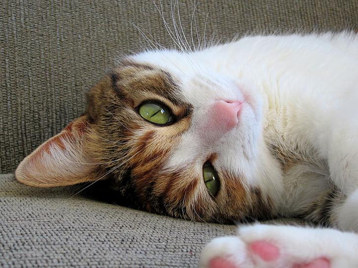 Royalty Free Photo Short Coated Brown White And Black Cat Lying On Gray Cushion Pickpik