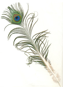 peacock feather with white background
