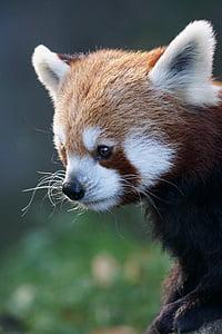 selective focus photo of red panda