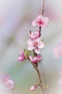 closeup photo pink cherry blossoms