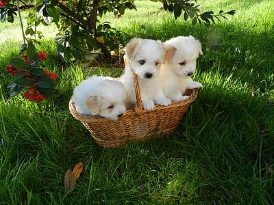 three white puppies inside basket
