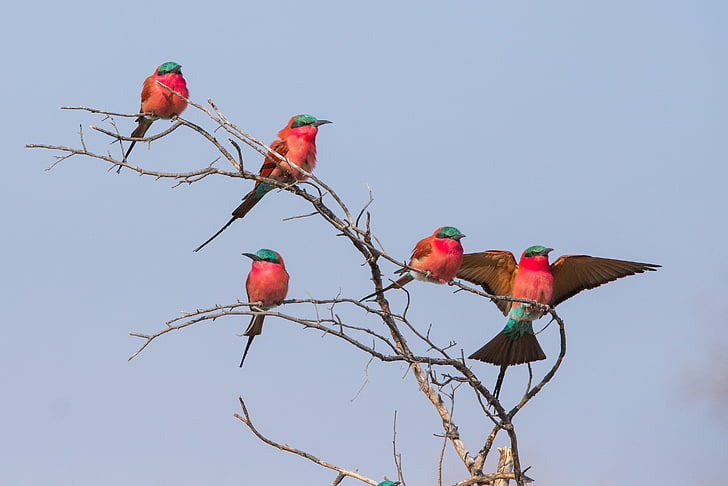 five red and blue bird standing on brown twigs
