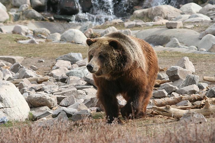 brown bear walking on field