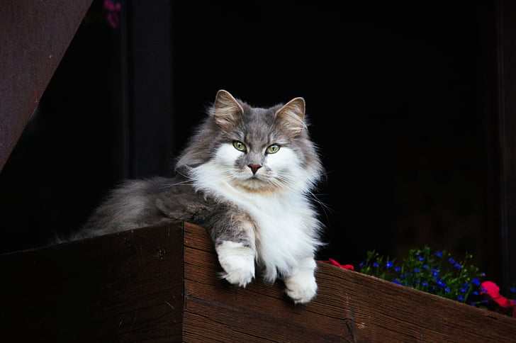 white and gray mainecoon cat