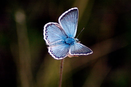 female common blue butterfly perched on pink flower