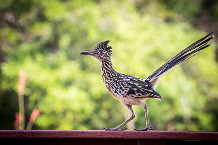 black and white lesser roadrunner