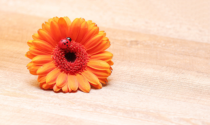 ladybug on orange Gerbera daisy flower