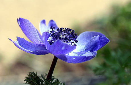 depth of field photography of purple anemone flower