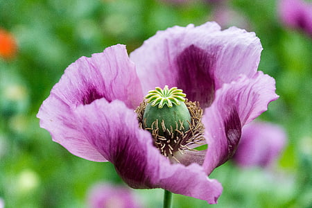 purple poppy in bloom close up photo