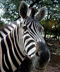 zebra near green tree