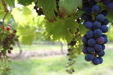 close up photo of grapes