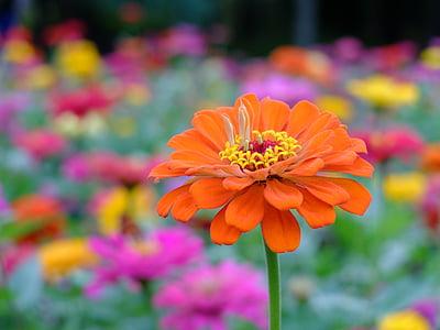selective focus photography of orange zinnia flower