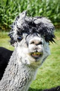 white and black Llama smiling