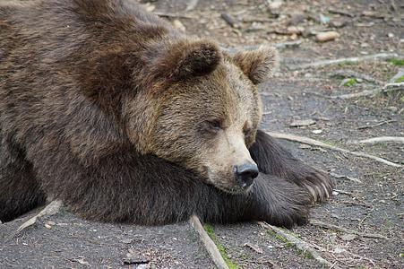 brown bear laying on gray soil