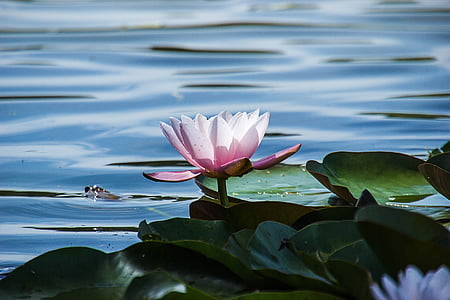 pink lotus on body of water