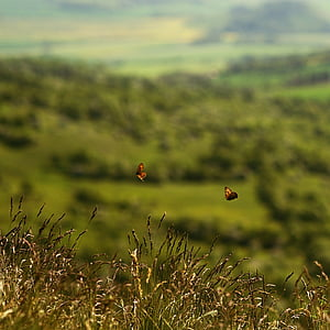 two brown butterflies flying over grass