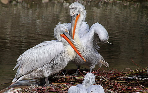 two white pelicans near body of water